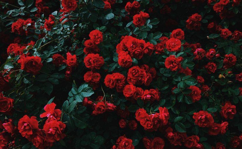 Manfaat Bunga Mawar dan Cara Menggunakannya