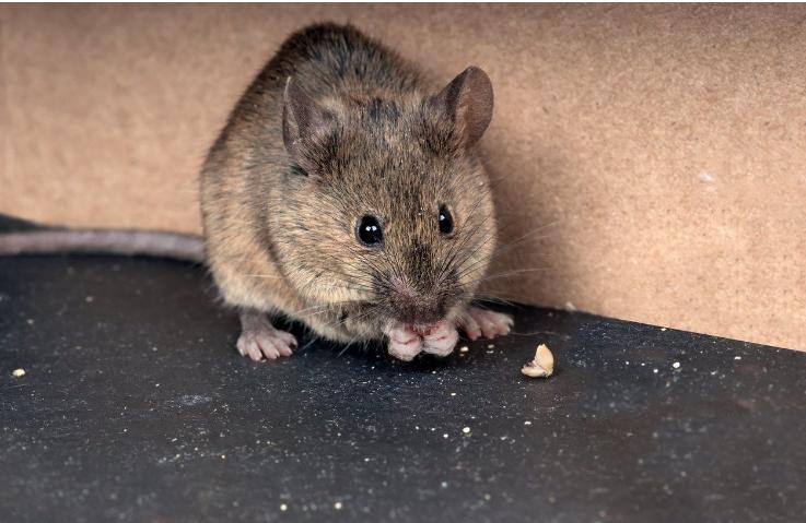 Cara Meng Bersikan Tikus Dari Rumah Anda